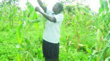 Mary Akiteng, a farmer in Obuletera village, Soroti district harvesting her maize last week